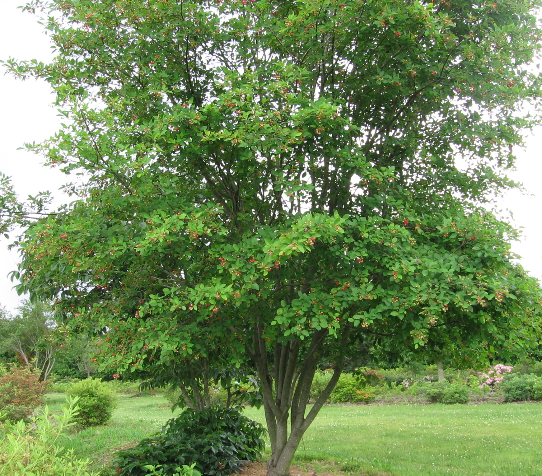 Natural landscapes nursery amelanchiers for Serviceberry tree